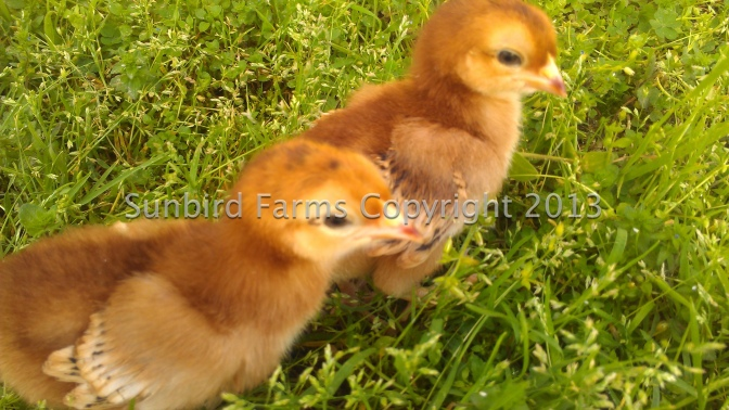 Heritage Rhode Island Red