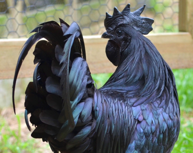 Cemani Rooster from Greenfire